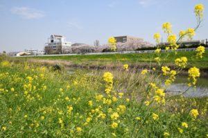 川口市芝川桜と菜の花